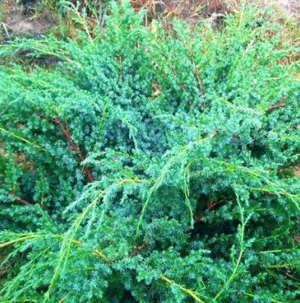 Юниперус Сини Алпи / juniperus chinensis blue alps /..