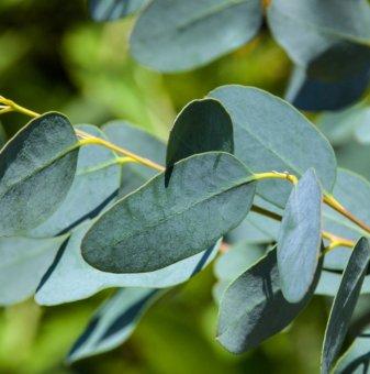 Зимоустойчив Евкалипт / Eucalyptus /