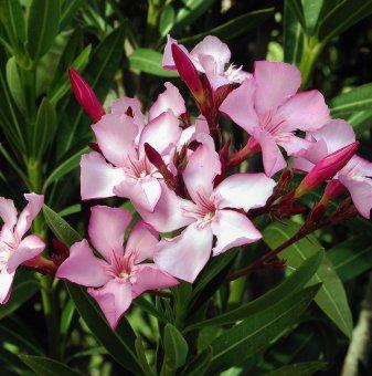 Зокум - Олеандър розов / Nerium oleander /