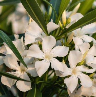 Зокум - Олеандър бял / Nerium oleander / - 30-40 см...