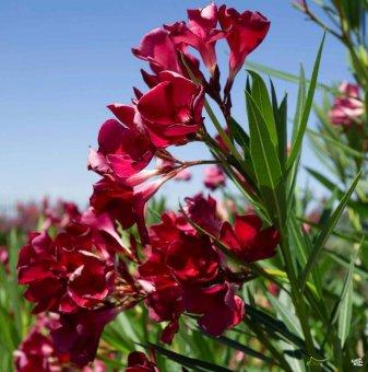 Зокум - Олеандър червен / Nerium oleander / - 30-40 см...