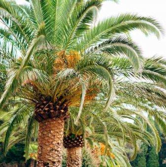 Финикова Палма / Phoenix dactylifera - Palm tree /..