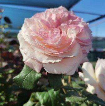 Роза Дърво цвят Шампанско 130 - 150 см.