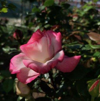 Ароматна Двуцветна Роза Дърво  130 - 150 см....