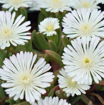 Делосперма бяла / Delosperma White /