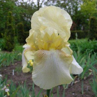 Ирис Есенно зазоряване / Iris dawn of fall germanica /..