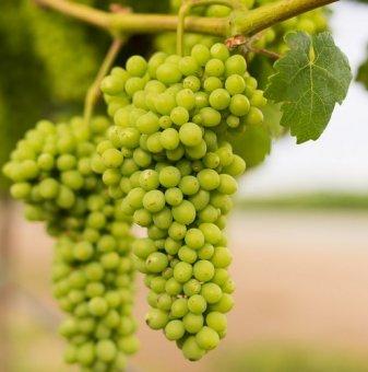 Лоза Мискет Варненски - хибриден винен сорт грозде - Среднозреещ в контейнер..