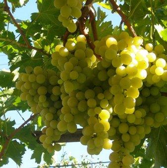 Лоза Плевен - бял десертен сорт грозде - ранно зреещ в контейнер..