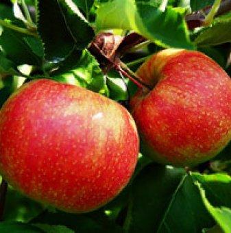 Ябълка сорт Джонатан 90-110 см. в контейнер