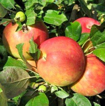 Ябълка сорт Мелроуз 120-140см. в контейнер