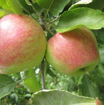 Ябълка сорт Молиз Делишес 80-100 см. в контейнер