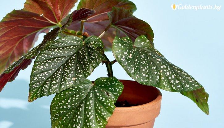 Снимка Кралска Бегония с цвят на случаен принцип / Begonia corallina /