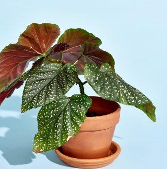 Кралска Бегония с цвят на случаен принцип / Begonia corallina /..
