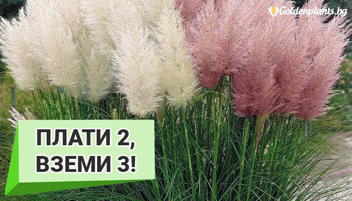 Снимка Промоционален пакет Кортадерия, Пампаска трева микс - Плати 2, вземи 3!