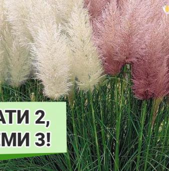 Промоционален пакет Кортадерия, Пампаска трева микс - Плати 2, вземи 3!...