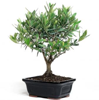 Маслина бонсай / Olea europaea bonsai /