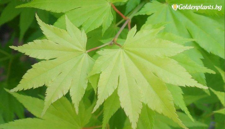 Снимка Промоционален пакет Зелен Японски Клен /Green Acer/ - Плати 2, вземи 3!