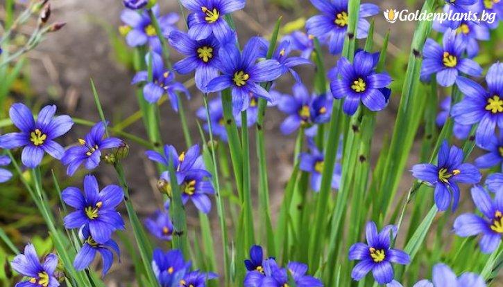 Снимка Промоционален пакет Трева Синьо око / Sisyrinchium / - Плати 2, вземи 3!