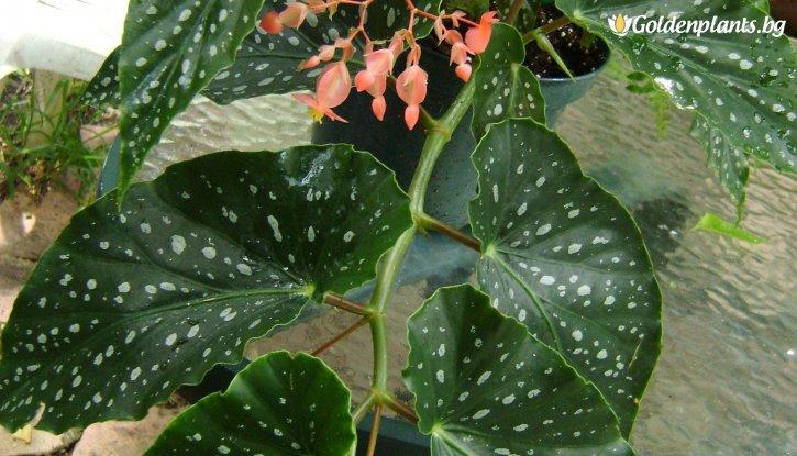 Снимка Промоционален пакет Кралска Бегония с цвят на случаен принцип / Begonia corallina / - Плати 2, вземи 3!