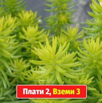 Промоционален пакет Седум Ангелина / Sedum rupestre Angelina / - Плати 2, вземи 3!...