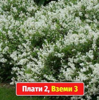 Промоционален пакет Дойция Бяла /Deutzia White/ - Плати 2, вземи 3!...