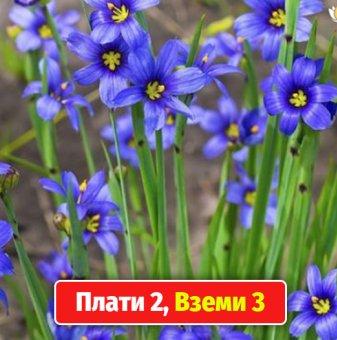 Промоционален пакет Трева Синьо око / Sisyrinchium / - Плати 2, вземи 3!...