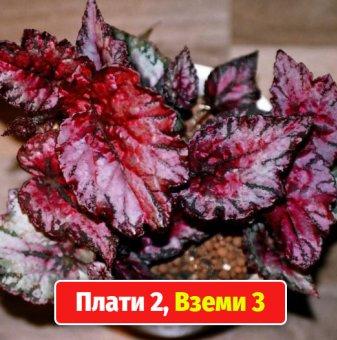 Промоционален пакет Кралска Бегония с цвят на случаен принцип / Begonia corallina / - Плати 2, вземи..