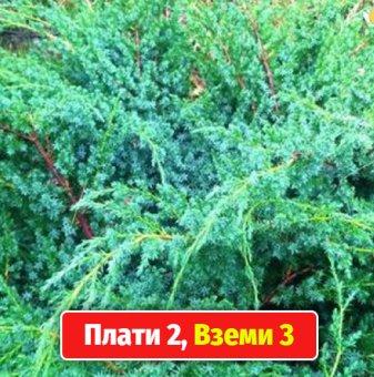 Промоционален пакет Юниперус Сини Алпи / juniperus chinensis blue alps / - Плати 2, вземи 3!..