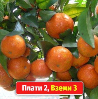 Промоционален пакет Цитруси / Citrus mix / на случаен принцип - Плати 2, вземи 3!..