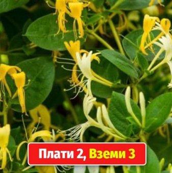 Промоционален пакет Лоницера Орлов нокът / Lonicera japonica / - Плати 2, вземи 3!..