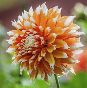 Далия Оранжево-Бяла / Dahlia Orange-White /...