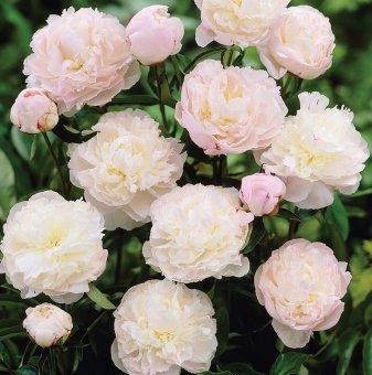 Божур трицветен / Paeonia lactiflora Shirley Temple /..