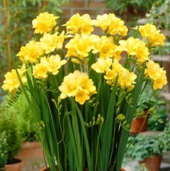 Фрезия Жълта / Freesia Double Yellow /