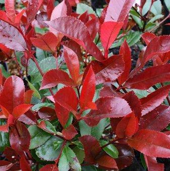Фотиния Червен робин / Photinia Red Robin / - 20-30 см...