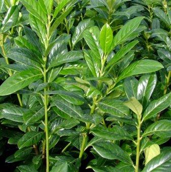 Лавровишна Новита / Prunus laurocerasus Novita / - 50-60 см...