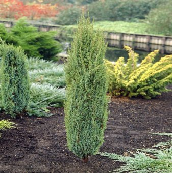 Хвойна Арнолд / Juniperus communis Arnold / - 10-20 см...