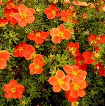Потентила Red Ace /Potentilla Fruticosa Red Ace/