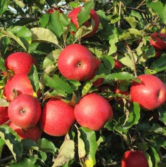 Ябълка сорт Пинк Лейди в контейнер