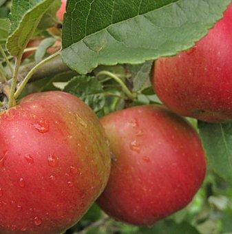 Ябълка сорт Айдаред / Apple Idared/ в контейнер