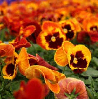 Едроцветна и ароматна теменужка Оранжево-черна Солар /Solar Flare/...