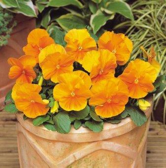 Едроцветна и ароматна теменужка ОРАНЖЕВА /Viola Matrix - Orange/..