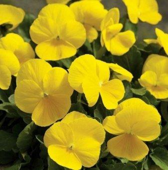 Едроцветна и ароматна теменужка ЖЪЛТА /Viola Matrix - Yellow/..