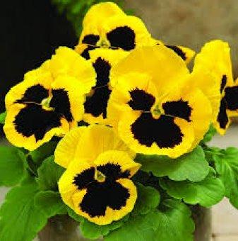 Едроцветна и ароматна теменужка Жълто-Винена  /Viola Matrix - Yellow Blotch/..
