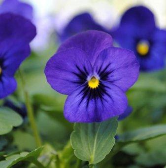 Едроцветна и ароматна теменужка Тъмно Синьо и Черно /Blue Blotch/..