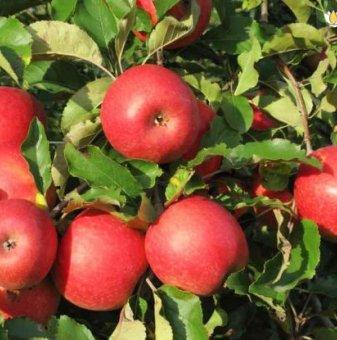 Ябълка сорт Пинк Лейди - 130-160 см