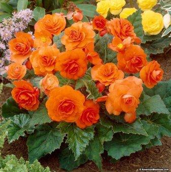 Бегония Оранжева / Begonia Orange /