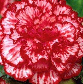 Бегония Мармората / Begonia Marmorata /