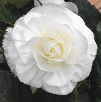 Бегония Бяла / Begonia White /