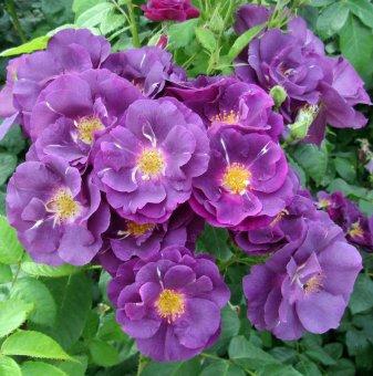 Роза синьо-лилава