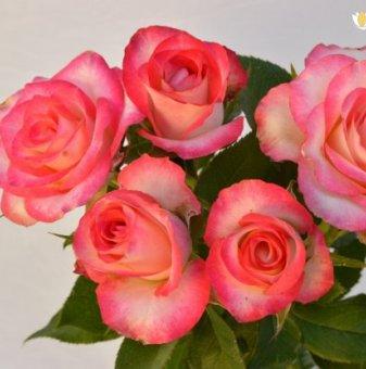 Роза бяла с розов кант